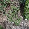 JuniperusCommunisMongolica.jpg 1024 x 768 px 371.17 kB