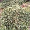 JuniperusCommunisRepanda.jpg 991 x 675 px 167.93 kB