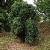 JuniperusCommunis.jpg 681 x 908 px 507.5 kB