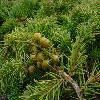 JuniperusConferta2.jpg 600 x 450 px 211.11 kB