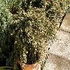 JuniperusConfertaBluePacific2.jpg 1120 x 840 px 320.57 kB