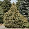 JuniperusExcelsaTurcomanica2.jpg 532 x 800 px 302.85 kB