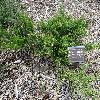 JuniperusHorizontalisAndorraCompact.jpg 1204 x 903 px 460.66 kB