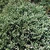 JuniperusHorizontalisBlueChip.jpg 1204 x 903 px 511.83 kB