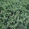 JuniperusHorizontalisDouglasii.jpg 1200 x 900 px 458.65 kB