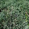 JuniperusHorizontalisEmeraldSpreader.jpg 1204 x 903 px 503.94 kB