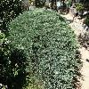 JuniperusHorizontalisGlauca.jpg 1024 x 768 px 348.74 kB