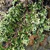 JuniperusHorizontalisGoldenCarpet2.jpg 1127 x 845 px 258.75 kB