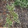 JuniperusHorizontalisGoldenCarpet.jpg 1127 x 845 px 371.79 kB