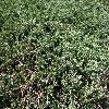 JuniperusHorizontalisJadeRiver.jpg 1204 x 903 px 535.78 kB