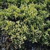JuniperusHorizontalisLimeglow.jpg 1201 x 901 px 417.74 kB