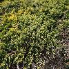 JuniperusHorizontalisMotherLode.jpg 1204 x 903 px 469.77 kB