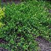 JuniperusHorizontalisPrincesOfWales.jpg 800 x 600 px 365.48 kB