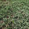 JuniperusHorizontalisWiltonii.jpg 1204 x 903 px 553.81 kB