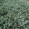 JuniperusHorizontalisYukonBelle.jpg 1202 x 901 px 472.22 kB