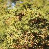 JuniperusOsteosperma4.jpg 800 x 1200 px 570.07 kB
