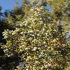 JuniperusOsteosperma5.jpg 797 x 1200 px 572.21 kB