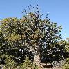 JuniperusOsteosperma.jpg 800 x 1200 px 585.28 kB