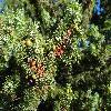 JuniperusOxycedrus2.jpg 1024 x 768 px 266.27 kB