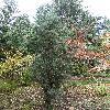 JuniperusOxycedrus3.jpg 720 x 960 px 532.63 kB