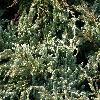 JuniperusSquamataBlueCarpet2.jpg 1120 x 840 px 283.76 kB