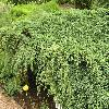 JuniperusSquamataBlueCarpet.jpg 1024 x 768 px 273.3 kB