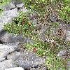 Juniperus.jpg 576 x 768 px 178.07 kB