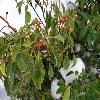 KalmiaLatifolia6.jpg 1141 x 856 px 207.2 kB
