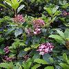 KalmiaLatifolia8.jpg 681 x 908 px 355.18 kB