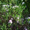 KalmiaPolifolia.jpg 1024 x 768 px 276.72 kB