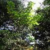 KalopanaxPictus6.jpg 720 x 960 px 545.94 kB