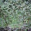 KerriaJaponicaPicta2.jpg 576 x 768 px 155.62 kB