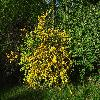 KerriaJaponicaPleniflora.jpg 1024 x 768 px 356.59 kB