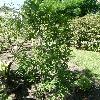 KiggelariaAfricana.jpg 634 x 845 px 200.15 kB