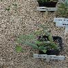 KleiniaArticulata.jpg 720 x 960 px 436.26 kB