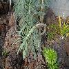 KleiniaNeriifolia5.jpg 1200 x 900 px 306.43 kB