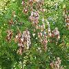 KoelreuteriaPaniculata15.jpg 1127 x 845 px 254.31 kB