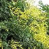 KoelreuteriaPaniculata4.jpg 634 x 845 px 129.94 kB