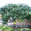 KoelreuteriaPaniculata.jpg 576 x 768 px 166.89 kB