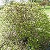 KolkwitziaAmabilisMaradco.jpg 638 x 850 px 239.38 kB