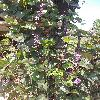 LablabPurpureus.jpg 716 x 955 px 463.04 kB