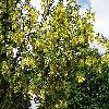 LaburnumAnagyroides2.jpg 1167 x 875 px 457.67 kB
