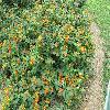 Lantana6.jpg 1110 x 833 px 333.31 kB