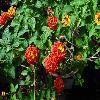 LantanaCamara3.jpg 1024 x 768 px 204.53 kB