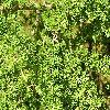 LarixDecidua3.jpg 1024 x 768 px 336.15 kB