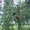 LarixDecidua4.jpg 1024 x 768 px 314.36 kB