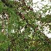 LarixKaempferi5.jpg 576 x 768 px 182.05 kB