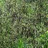 LedumPalustre4.jpg 1024 x 768 px 415.94 kB