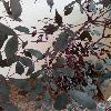 LeeaGuineensis3.jpg 718 x 957 px 319.63 kB