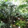 LepidozamiaPeroffskyana2.jpg 1024 x 768 px 330.54 kB